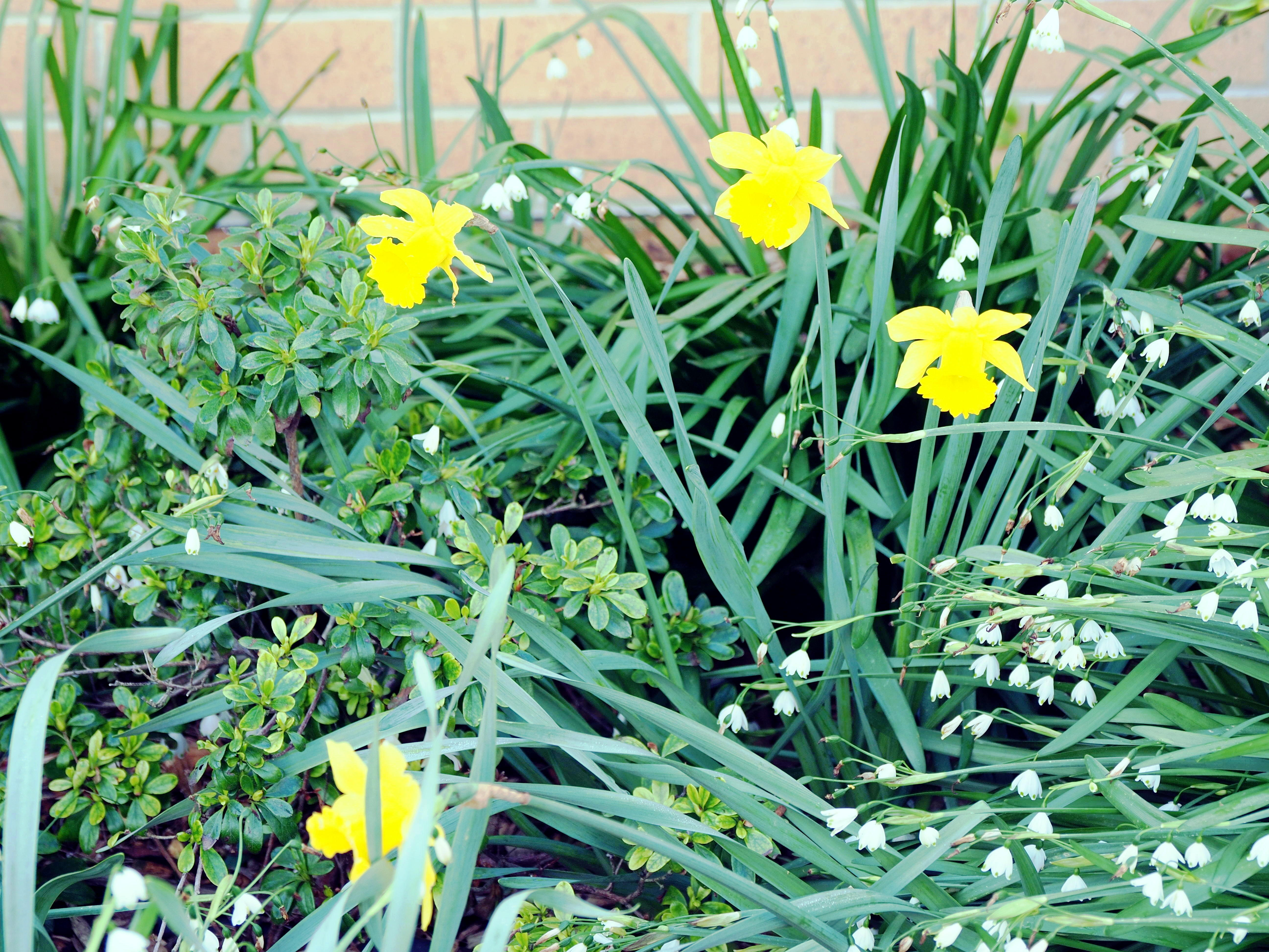 Daffodils-JPEG-2.jpeg