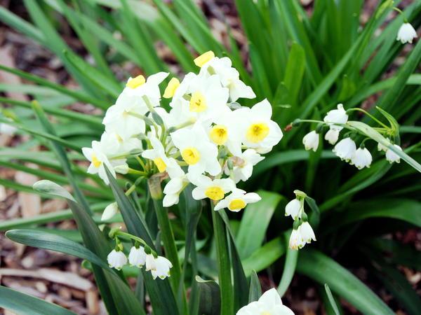 Daffodils-JPEG-1.jpeg
