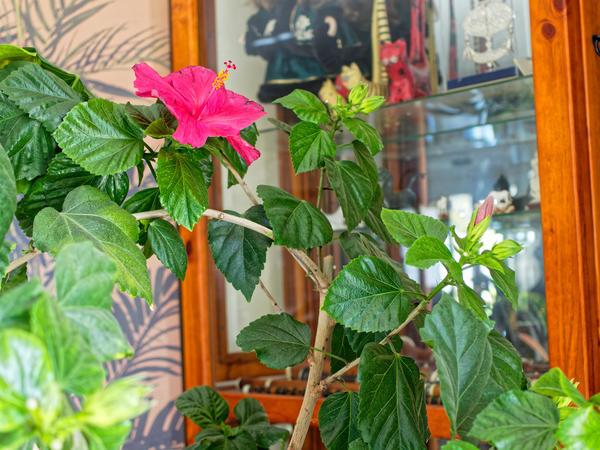 Hibiscus-2-hi-res.jpeg