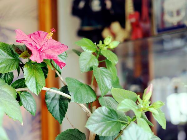 Hibiscus-JPEG.jpeg