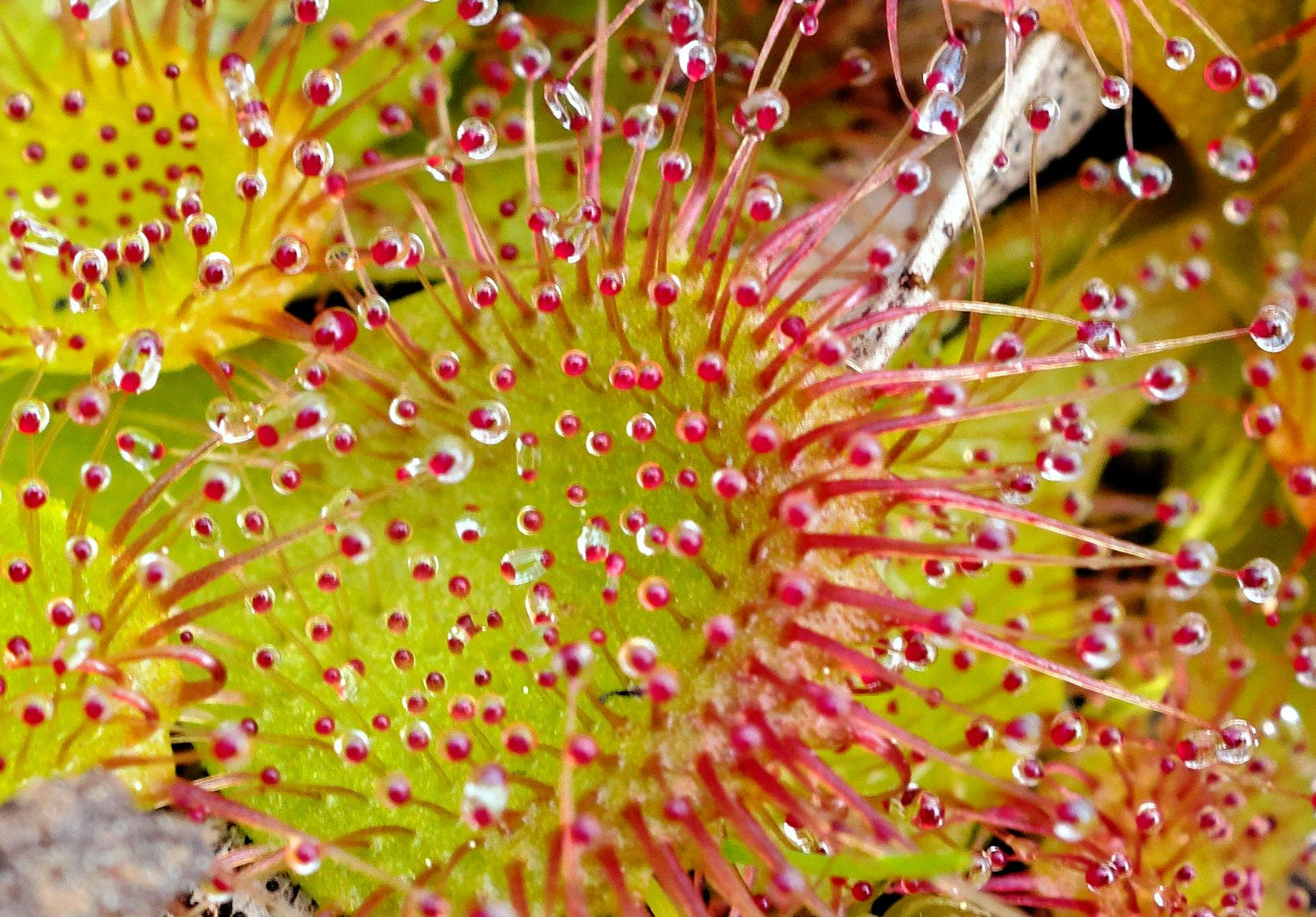 Drosera-6-detail.jpeg
