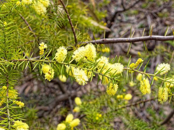 Acacia-4.jpeg