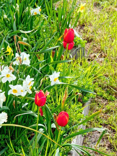 Tulips-3.jpeg