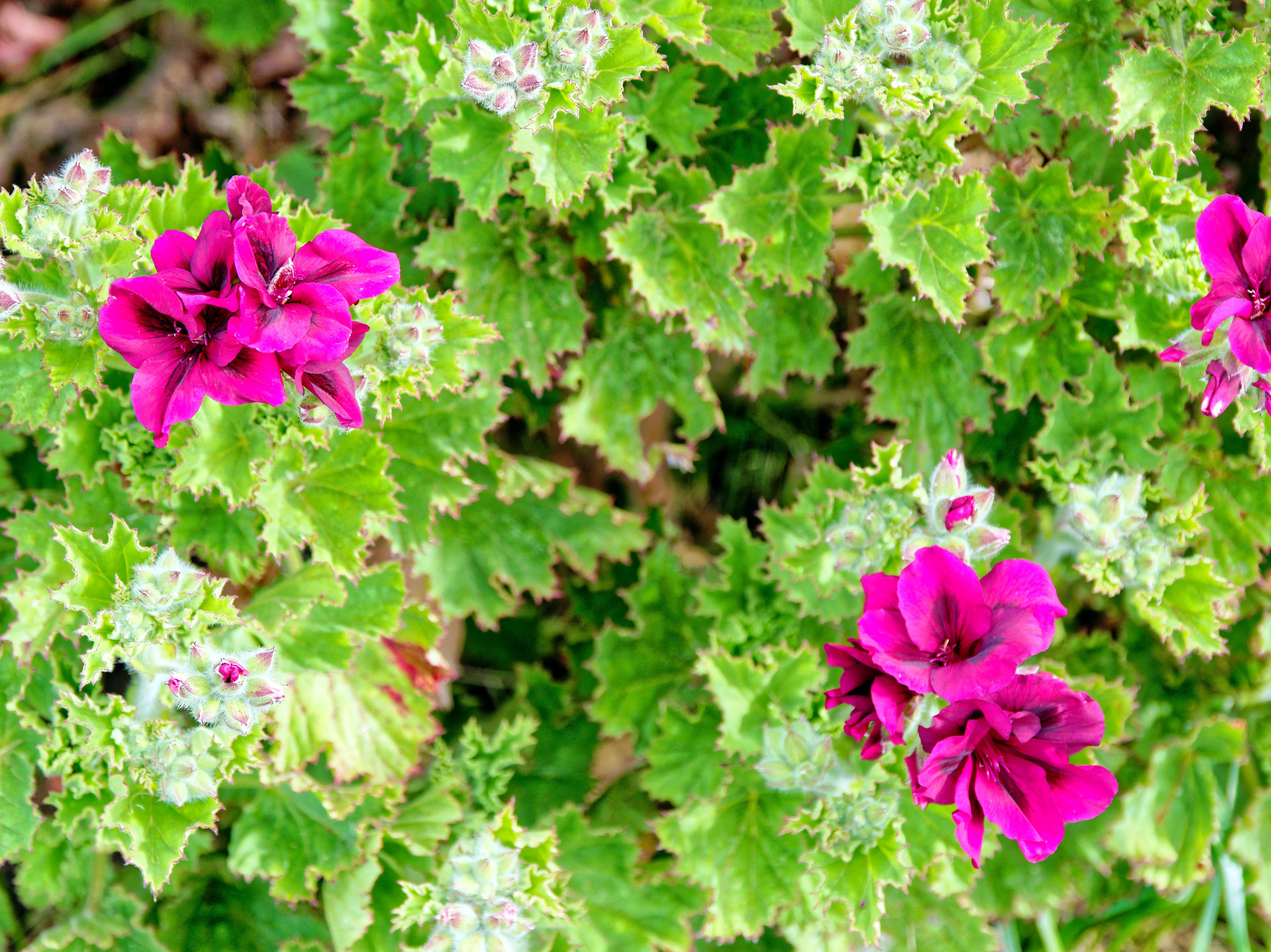 This should be Pelargonium.jpeg.  Is it missing?