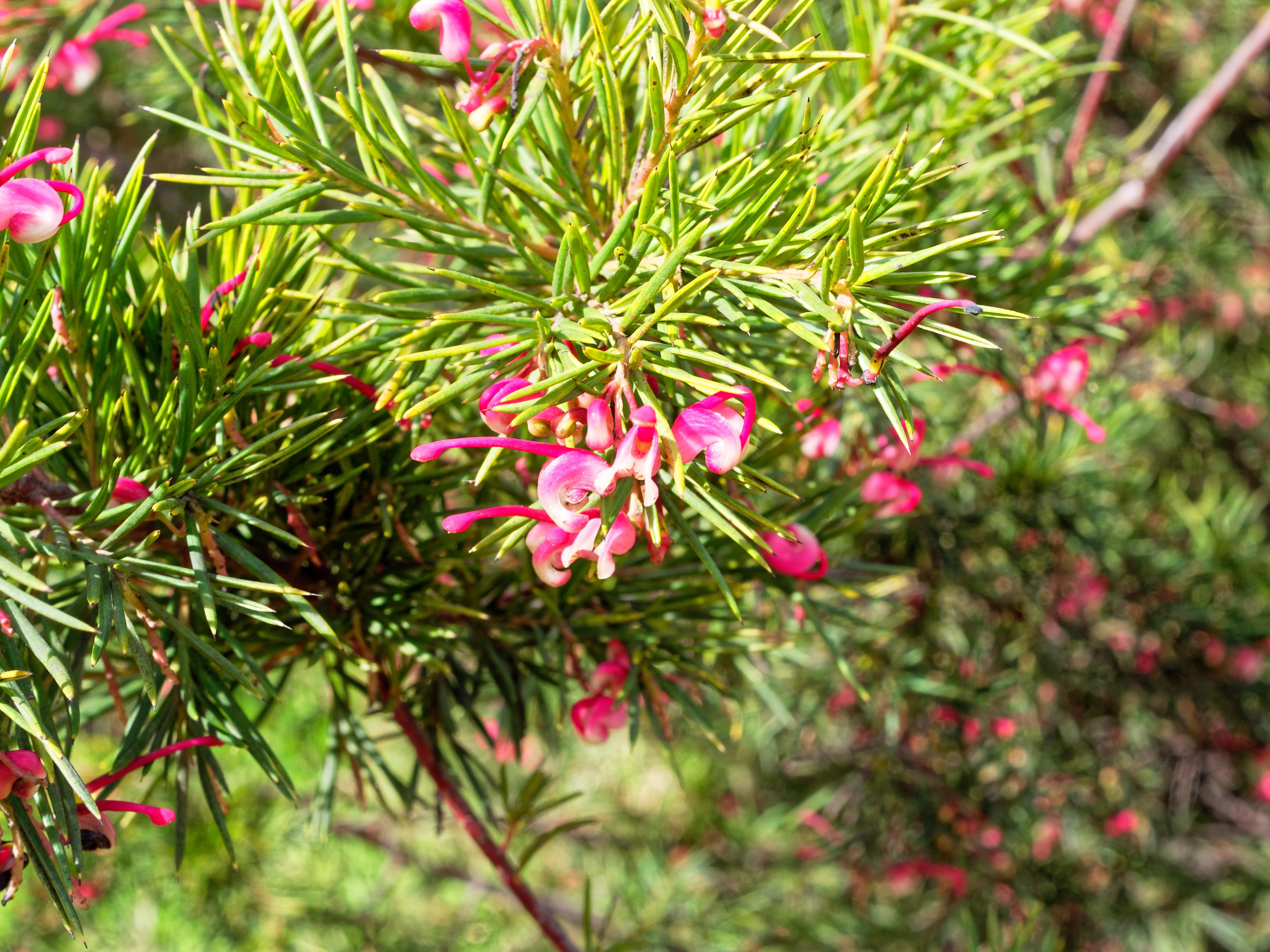 This should be Grevillea-rosmarinifolia-1.jpeg.  Is it missing?