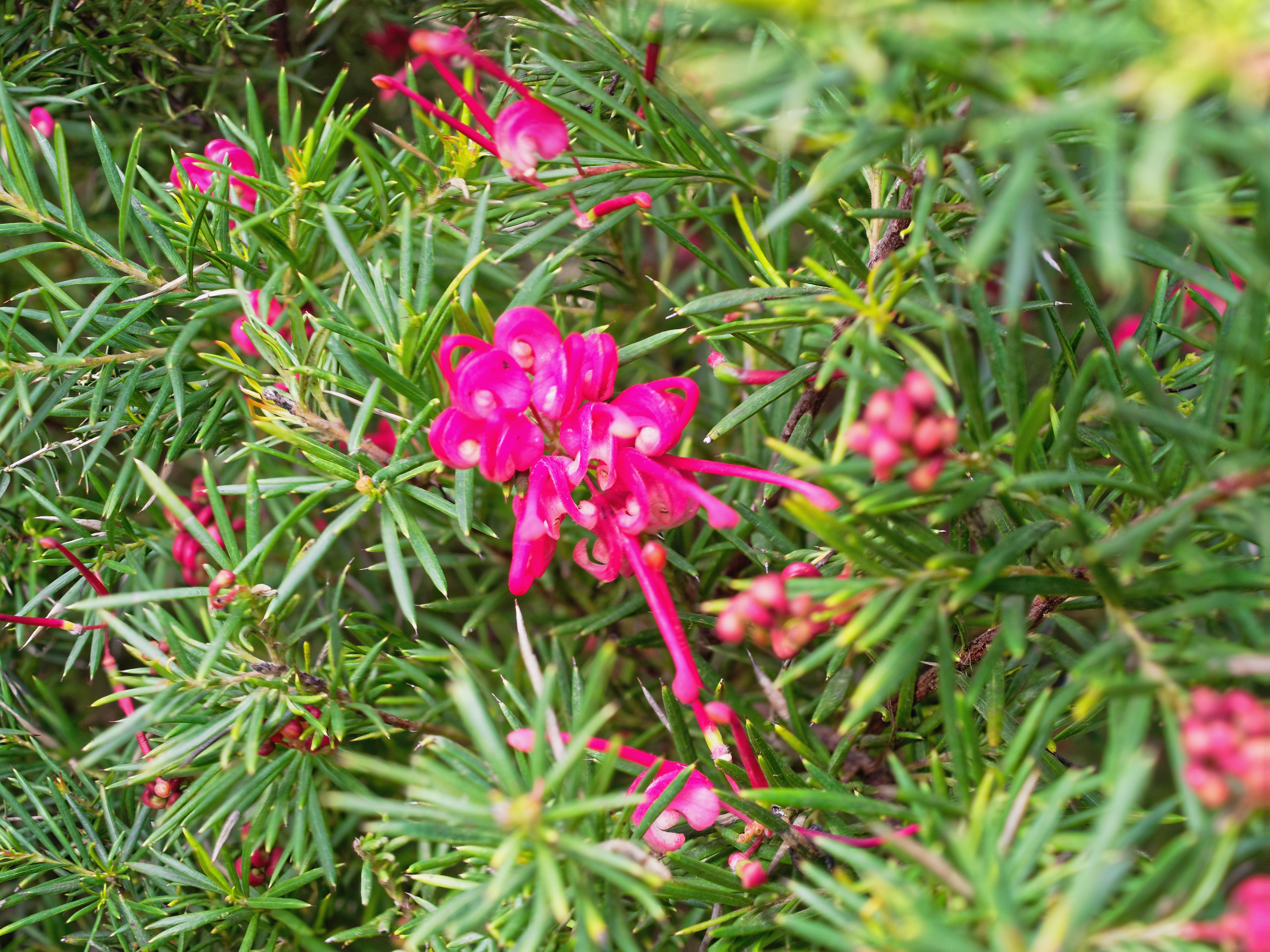 This should be Grevillea-rosmarinifolia-5-DMap.jpeg.  Is it missing?