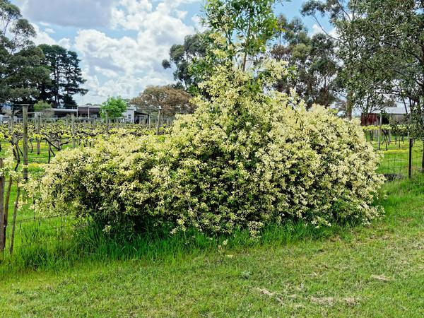 Mystery-bush-1.jpeg