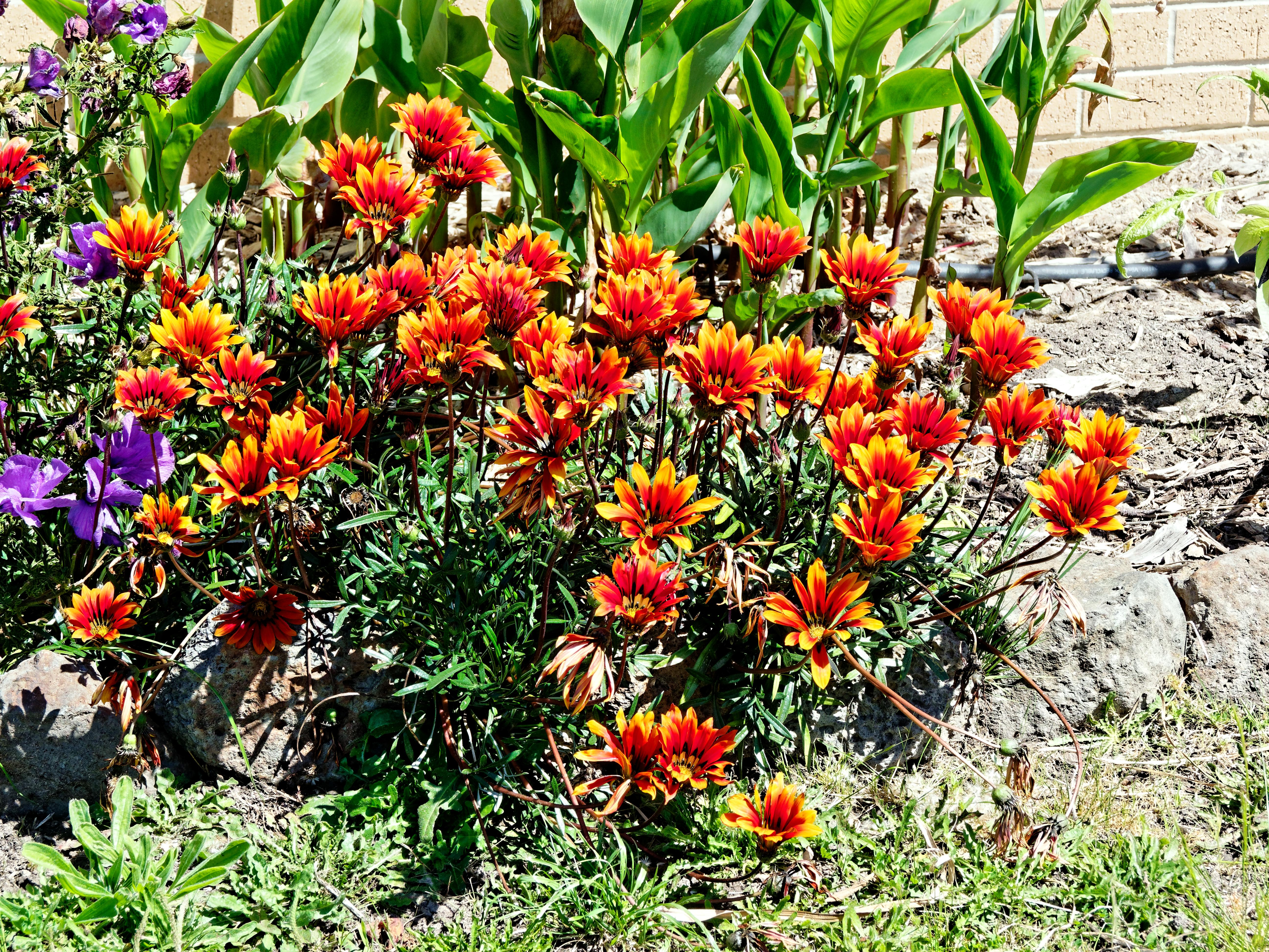 This should be Gazania-1.jpeg.  Is it missing?