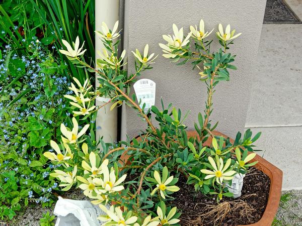 Leucospermum-1.jpeg