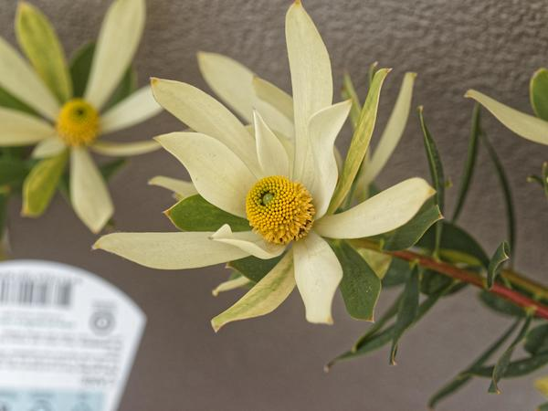 Leucospermum-2.jpeg