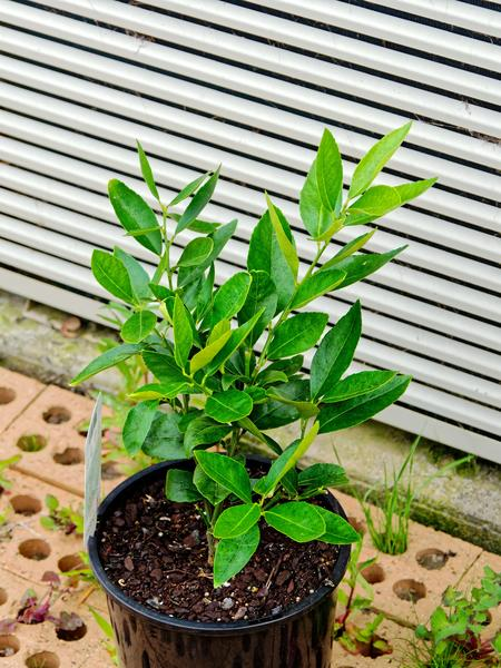 Lime-tree.jpeg