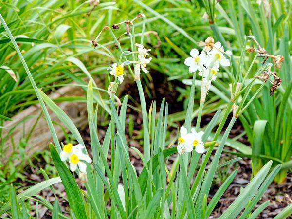 Narcissus.jpeg