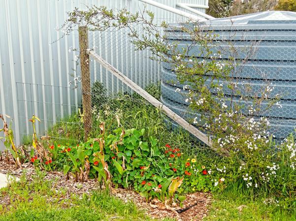 Solanum-Tropaeolum.jpeg