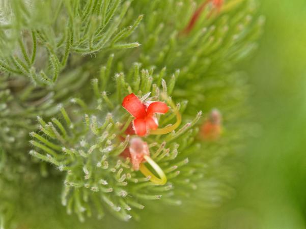 Adenanthos-sericeus-3.jpeg