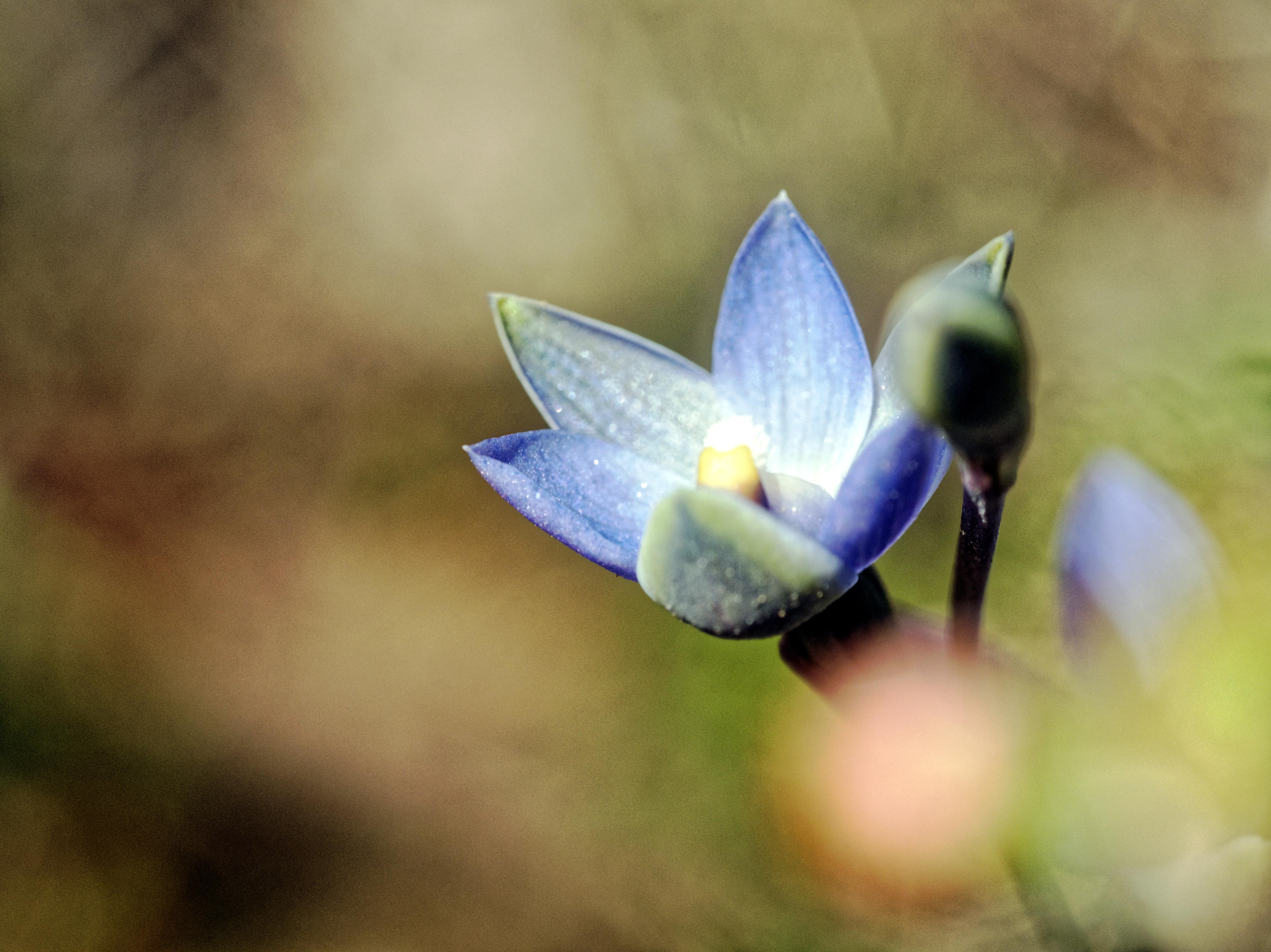 This should be Thelymitra-pauciflora-15.jpeg.  Is it missing?