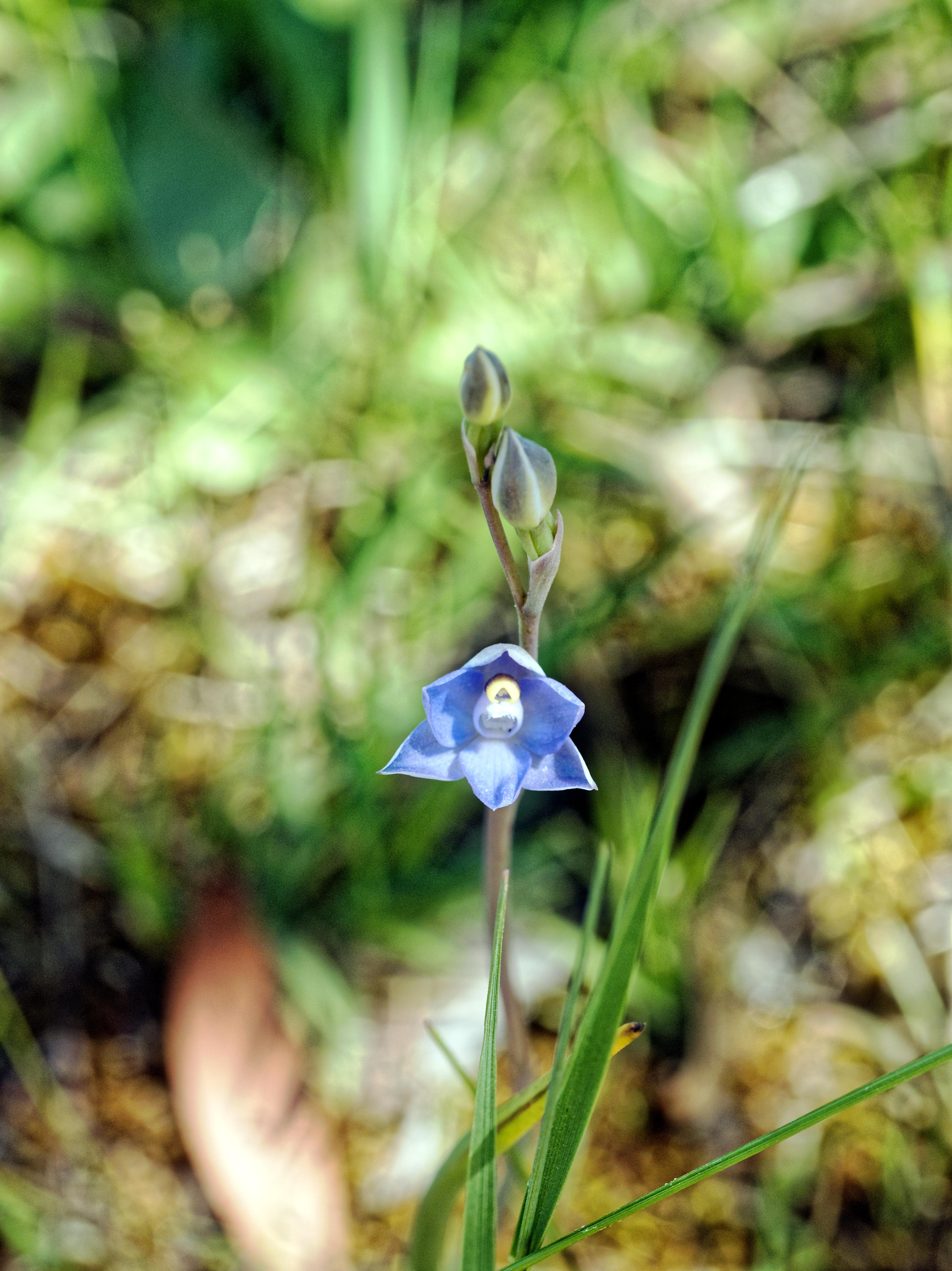 This should be Thelymitra-pauciflora-6.jpeg.  Is it missing?