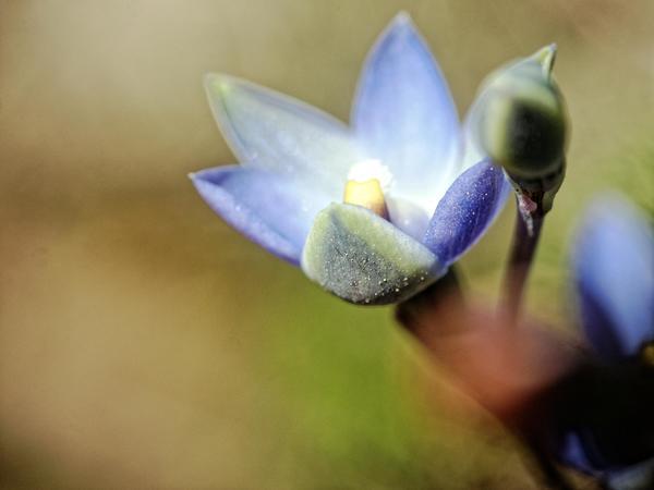 Thelymitra-pauciflora-14.jpeg