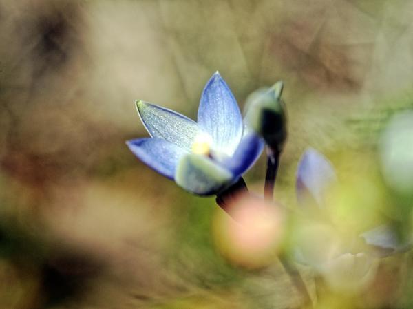 Thelymitra-pauciflora-16.jpeg