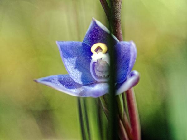 Thelymitra-pauciflora-5.jpeg
