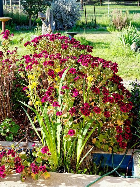 Iris-Pelargonium.jpeg