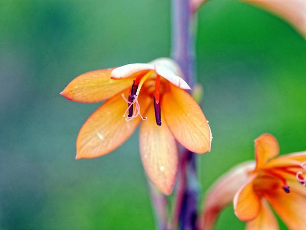 Watsonia-4.jpeg