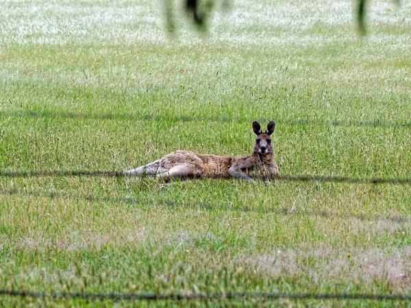 Sick-kangaroo-3.jpeg