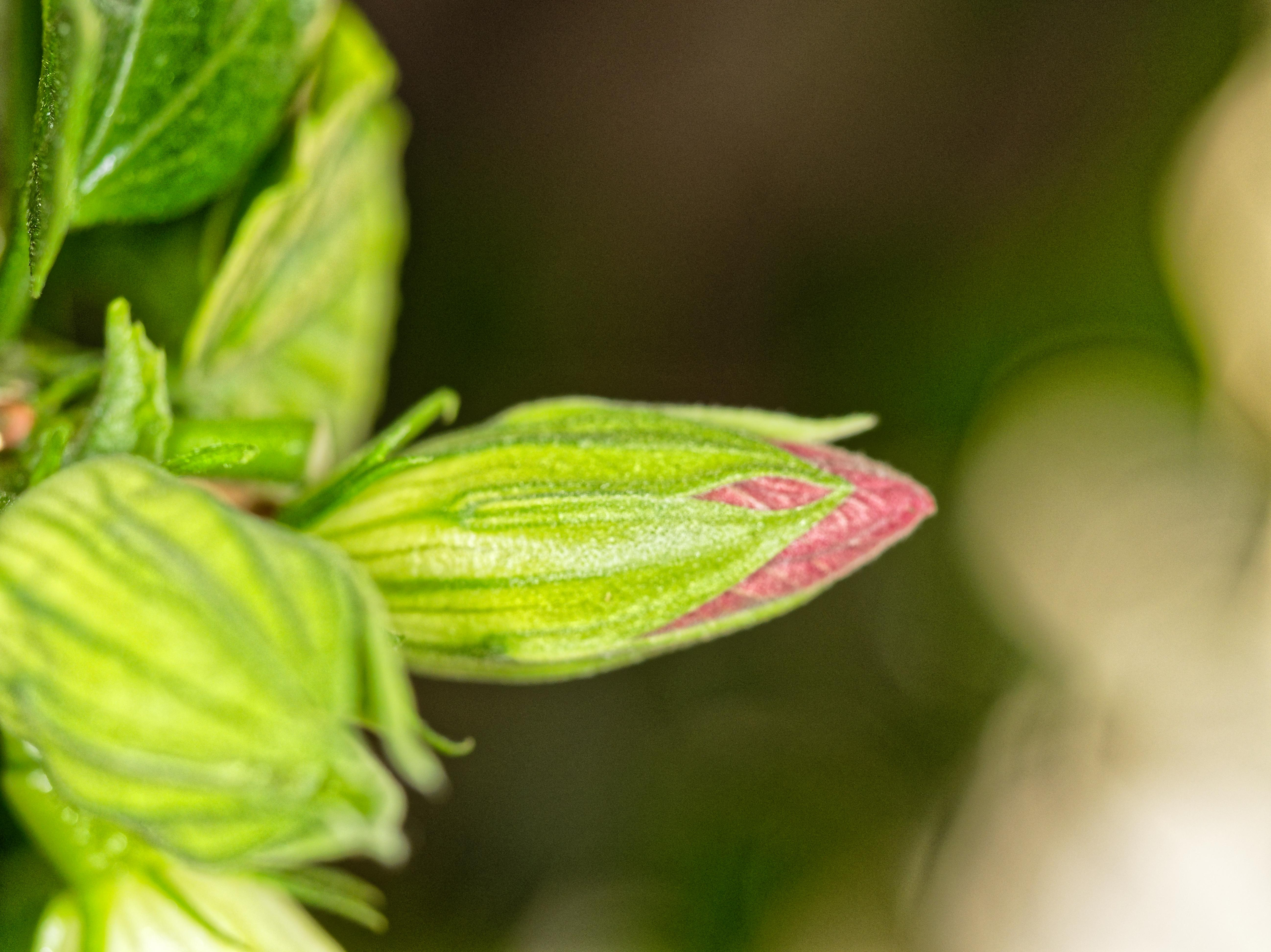 Hibiscus-bud-1.jpeg
