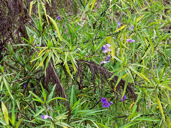 Solanum-aviculare-1.jpeg