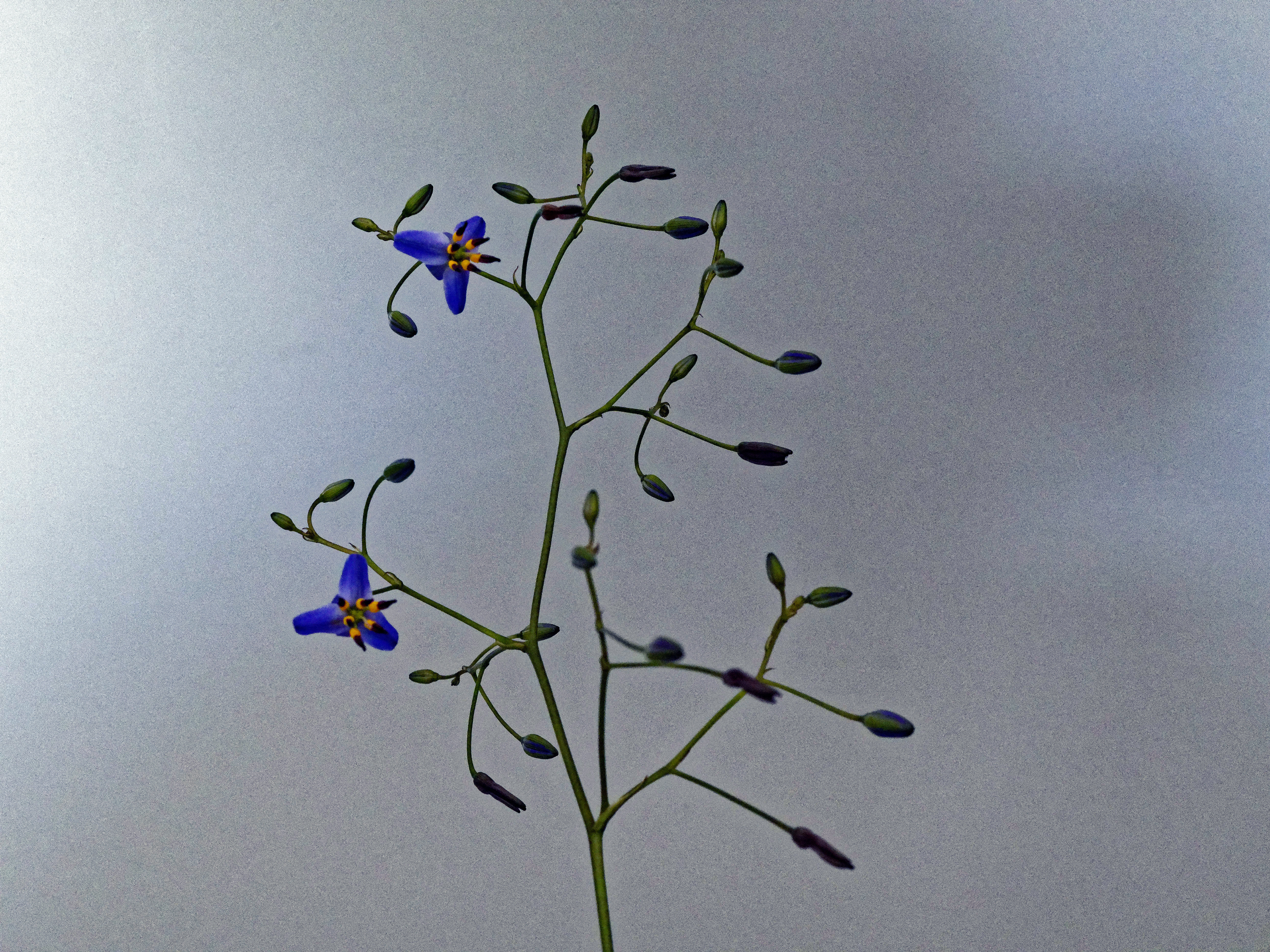 This should be Dianella-revoluta-2.jpeg.  Is it missing?