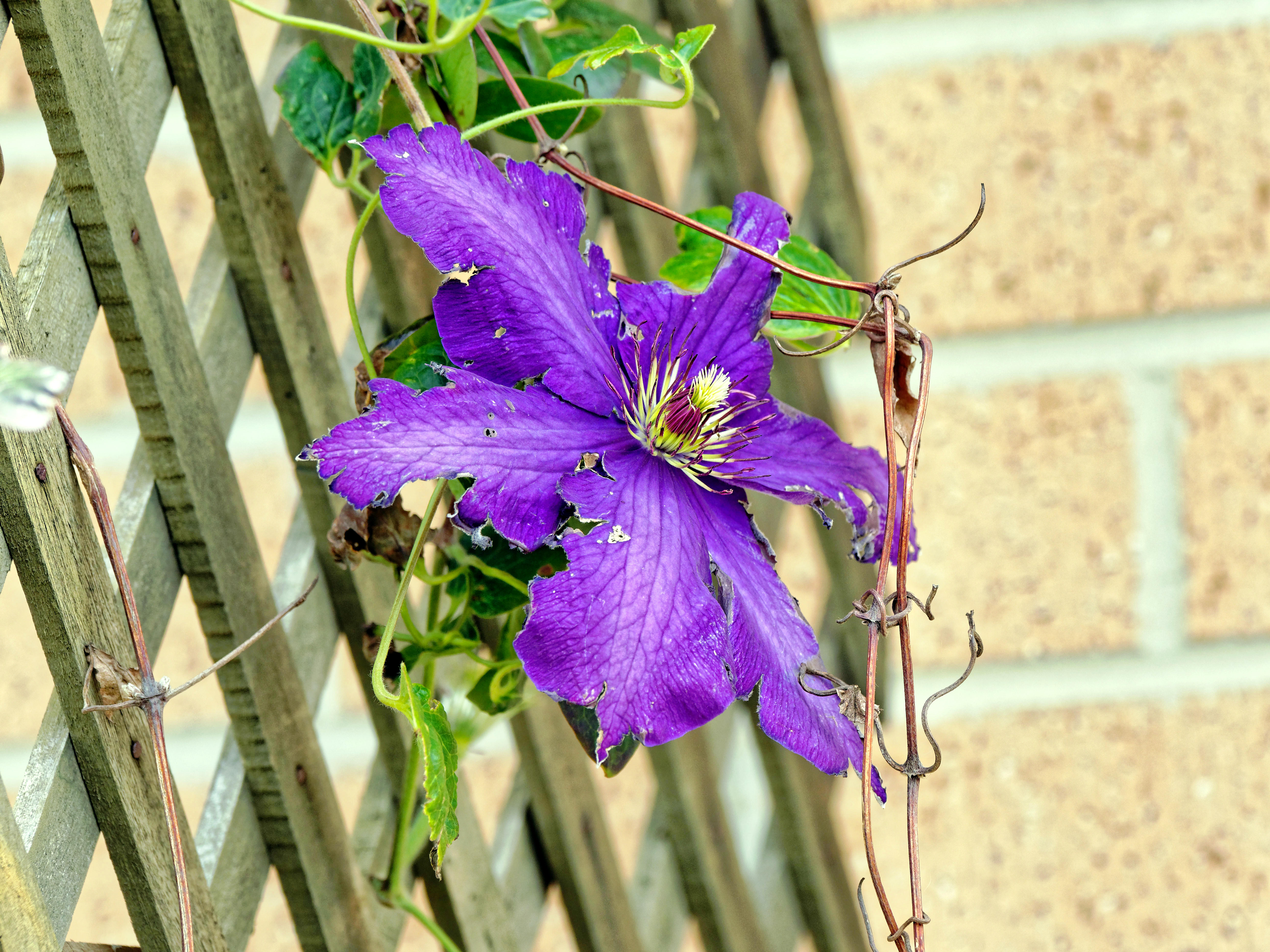 This should be Clematis-1.jpeg.  Is it missing?