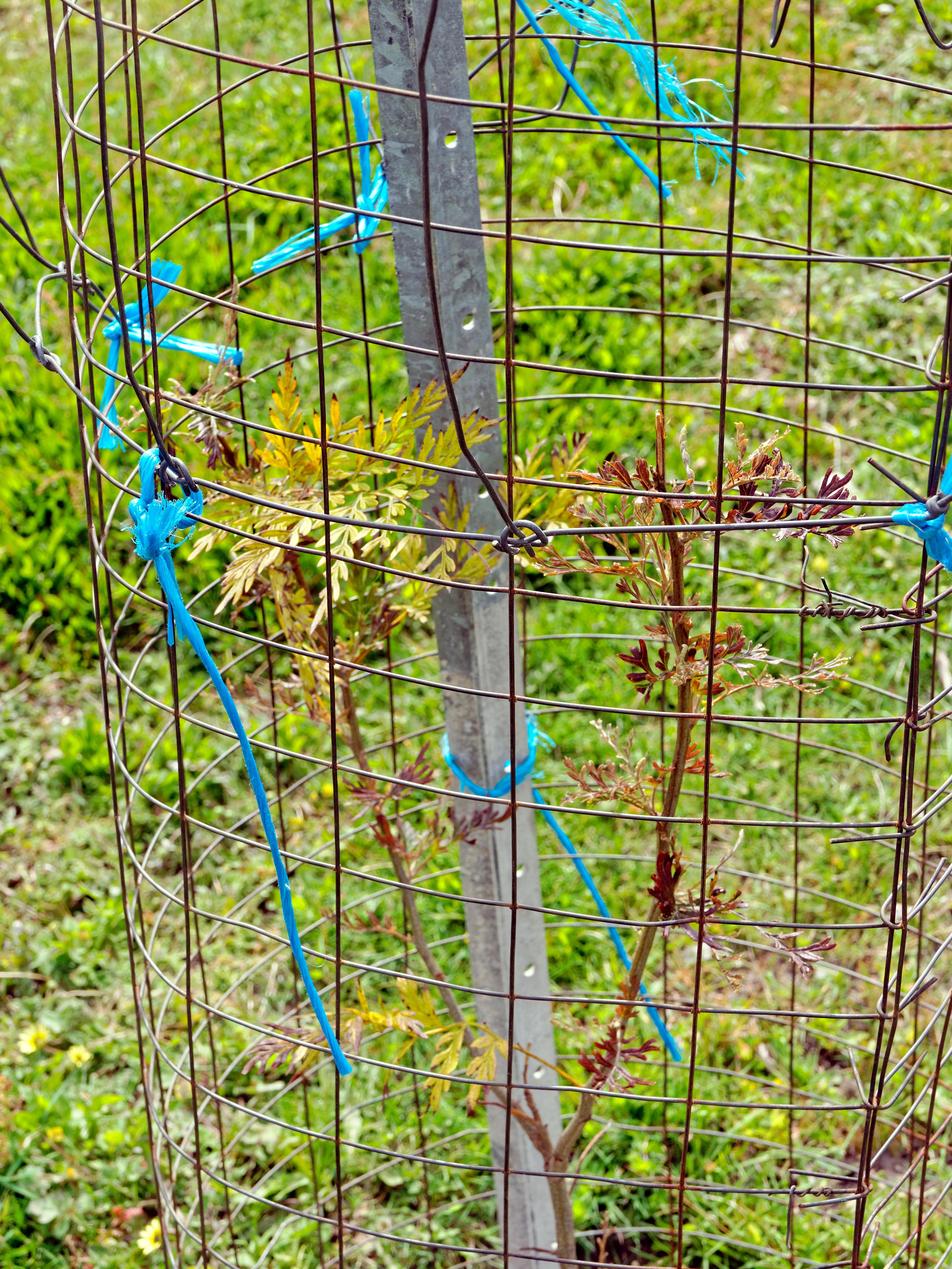 Grevillea-robusta-2.jpeg