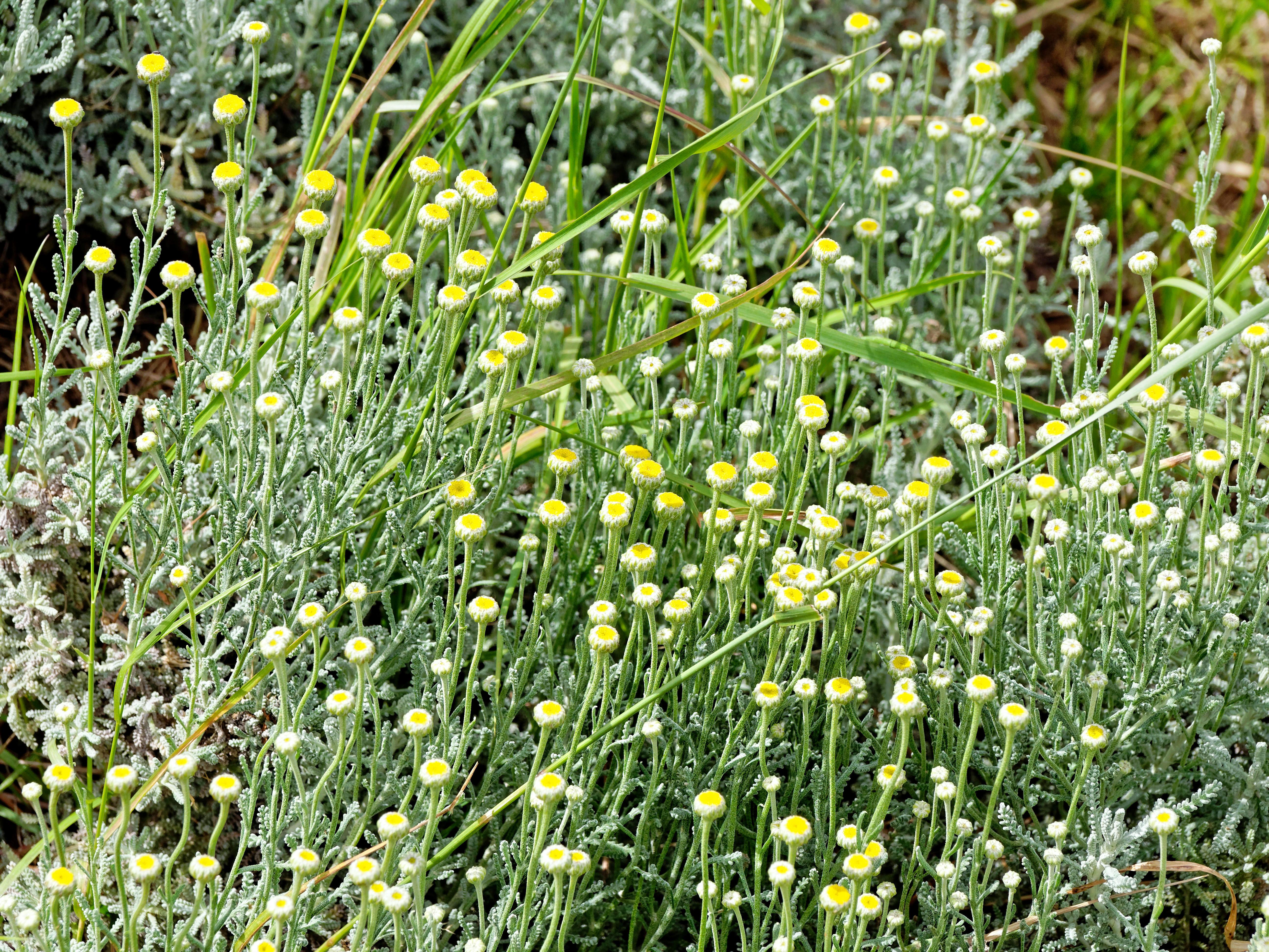 Helichrysum-2.jpeg