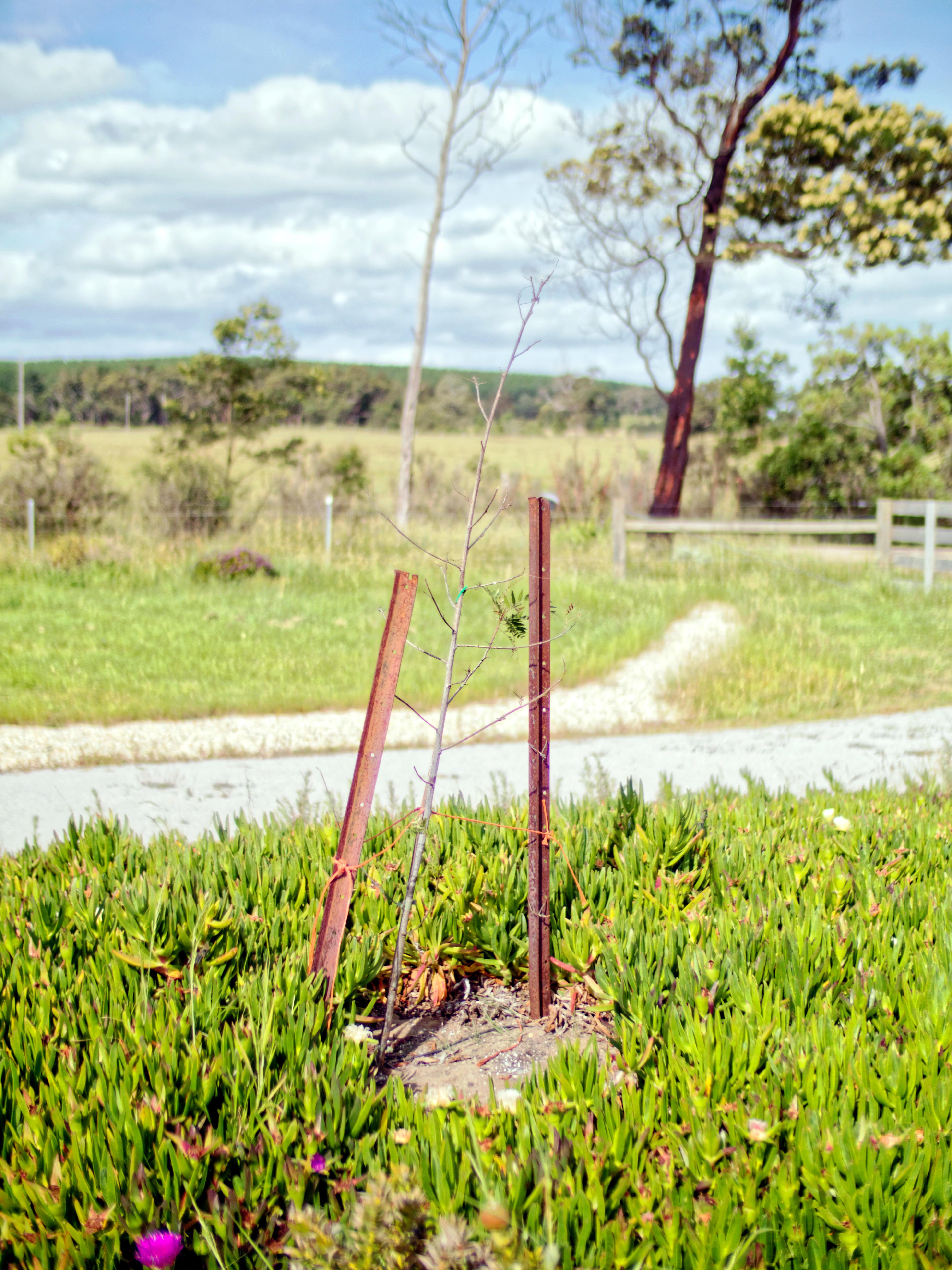 Pepper-tree-1.jpeg