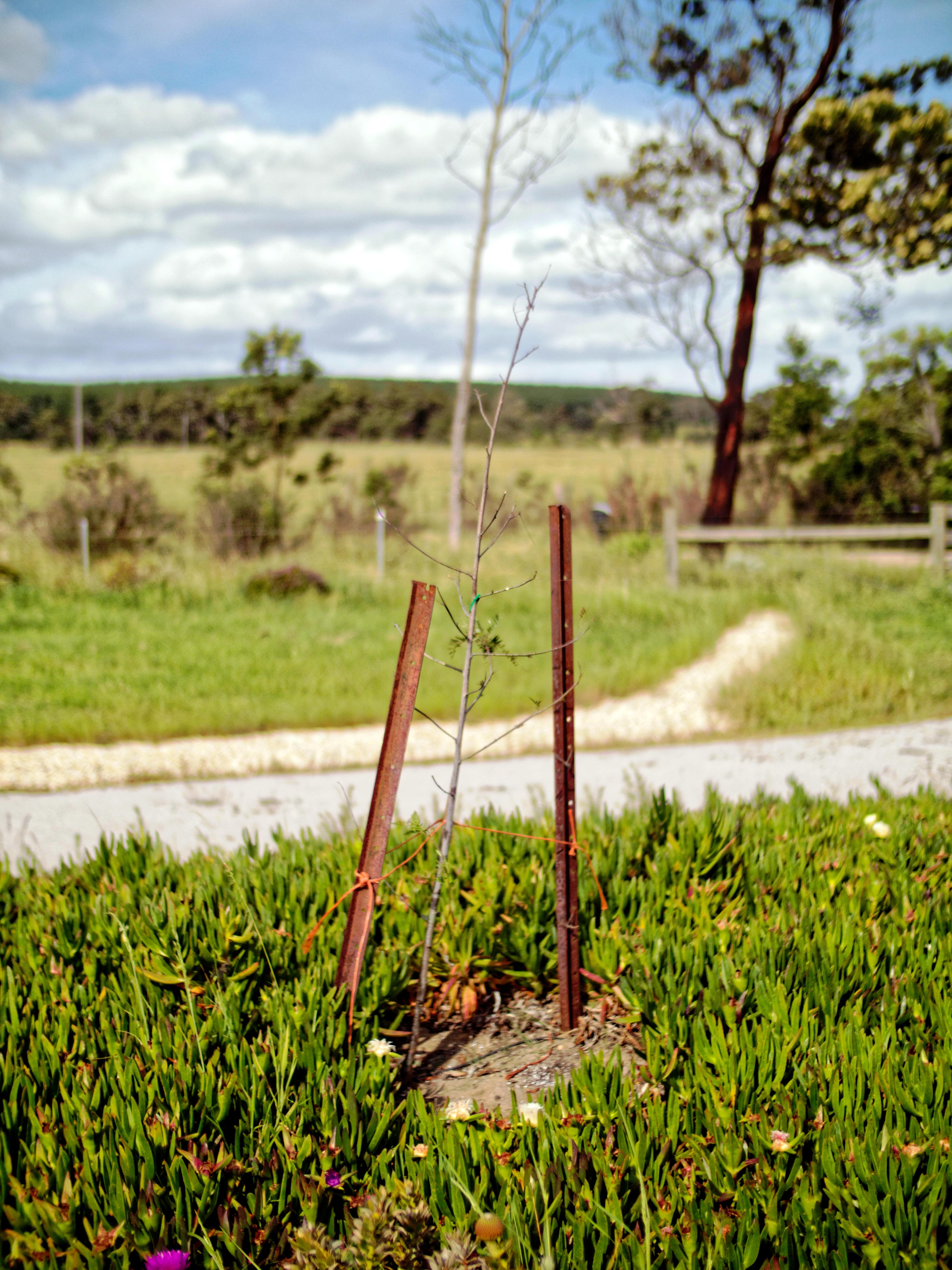 Pepper-tree-3.jpeg
