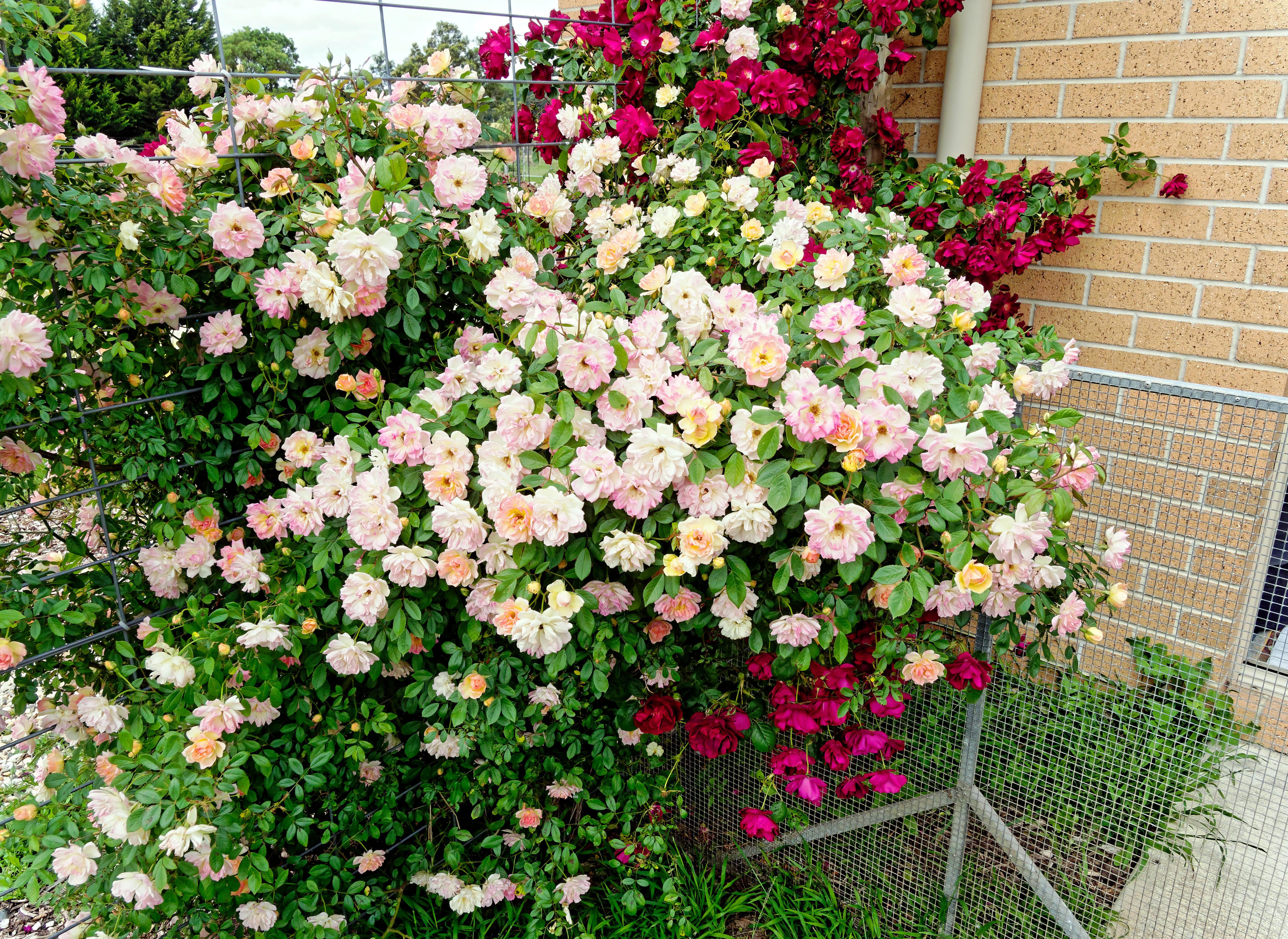 Roses-13.jpeg