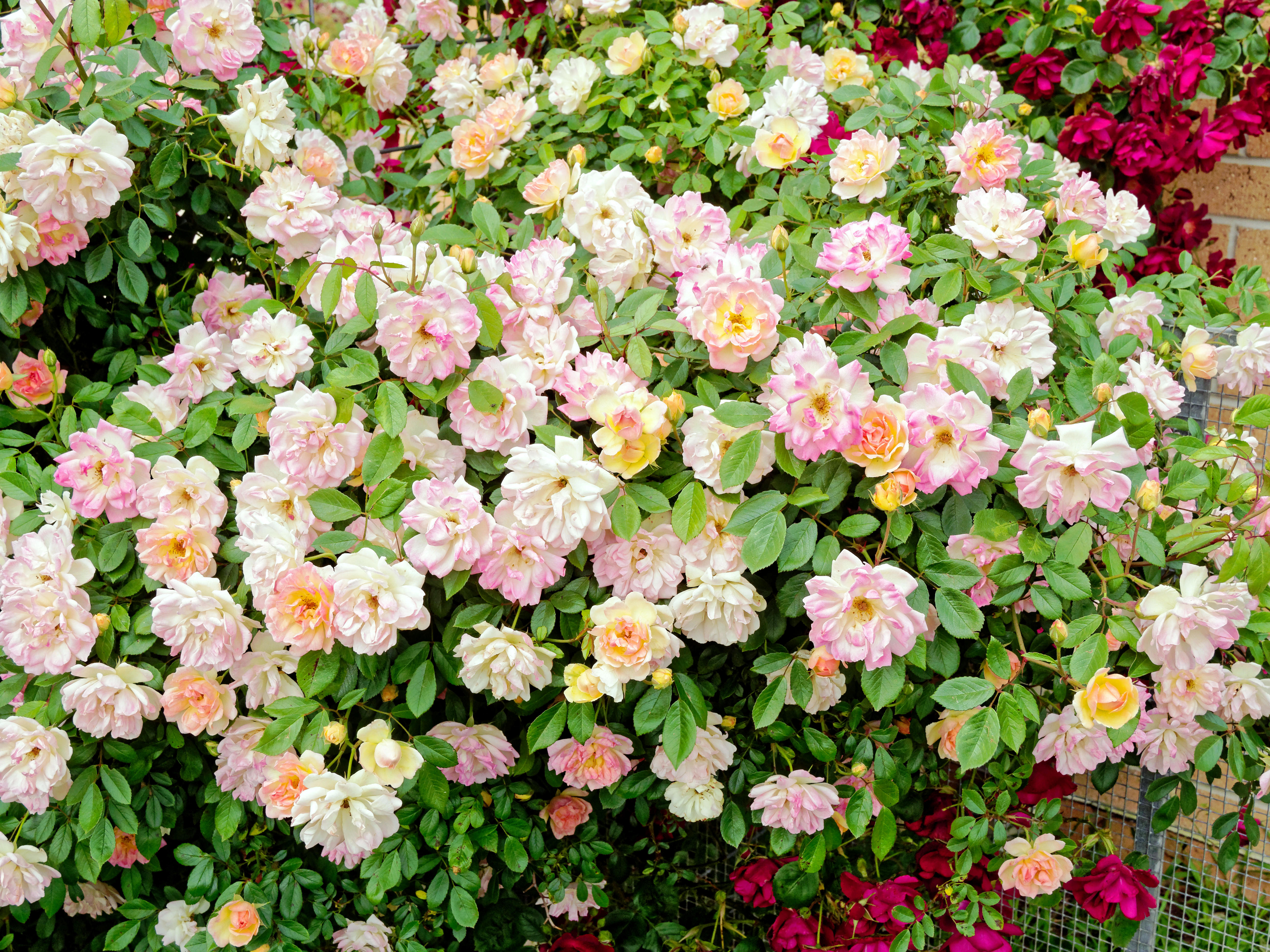 Roses-14.jpeg