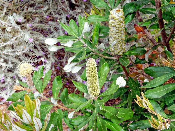 Banksia-7.jpeg