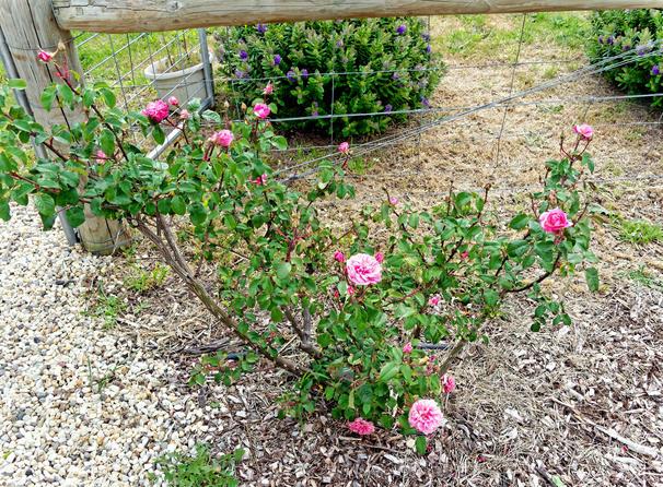 Roses-11.jpeg