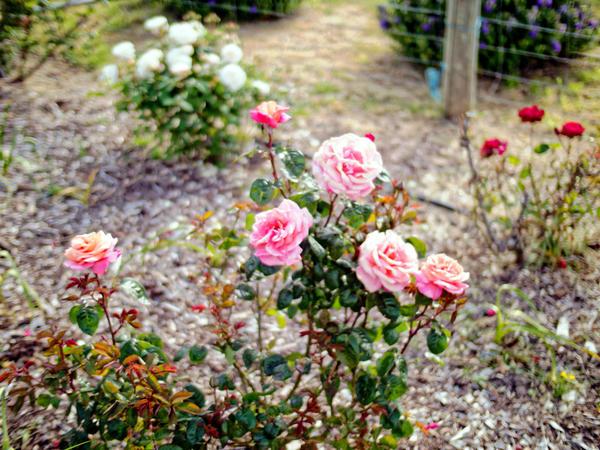 Roses-15.jpeg