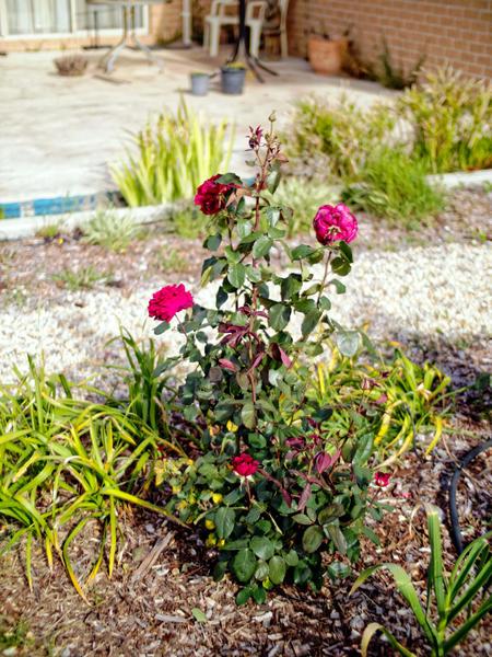 Roses-16.jpeg