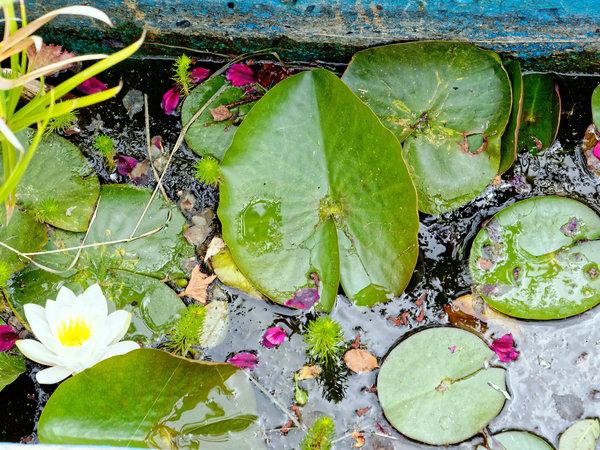 Water-lily.jpeg