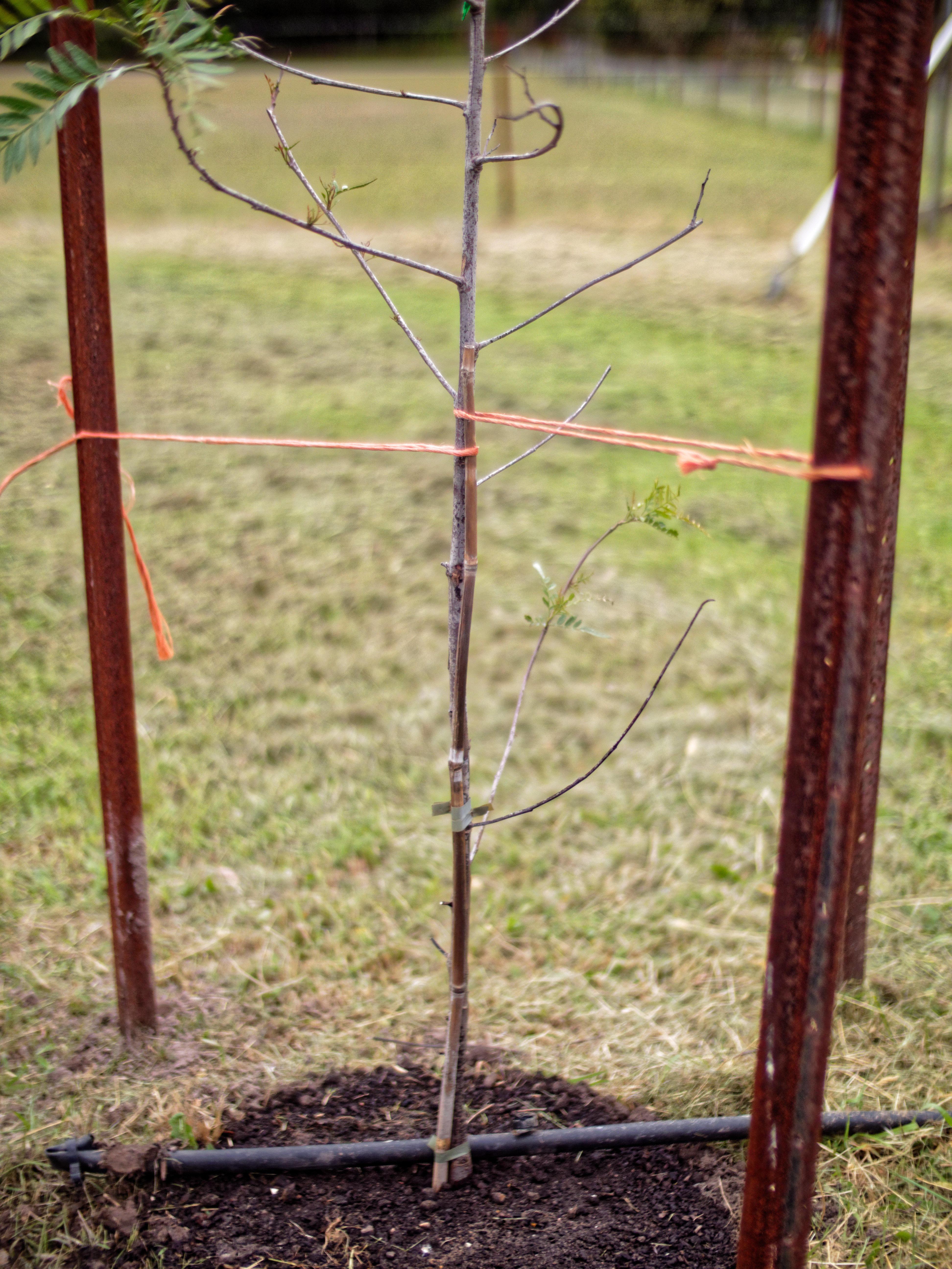 Pepper-tree-5.jpeg