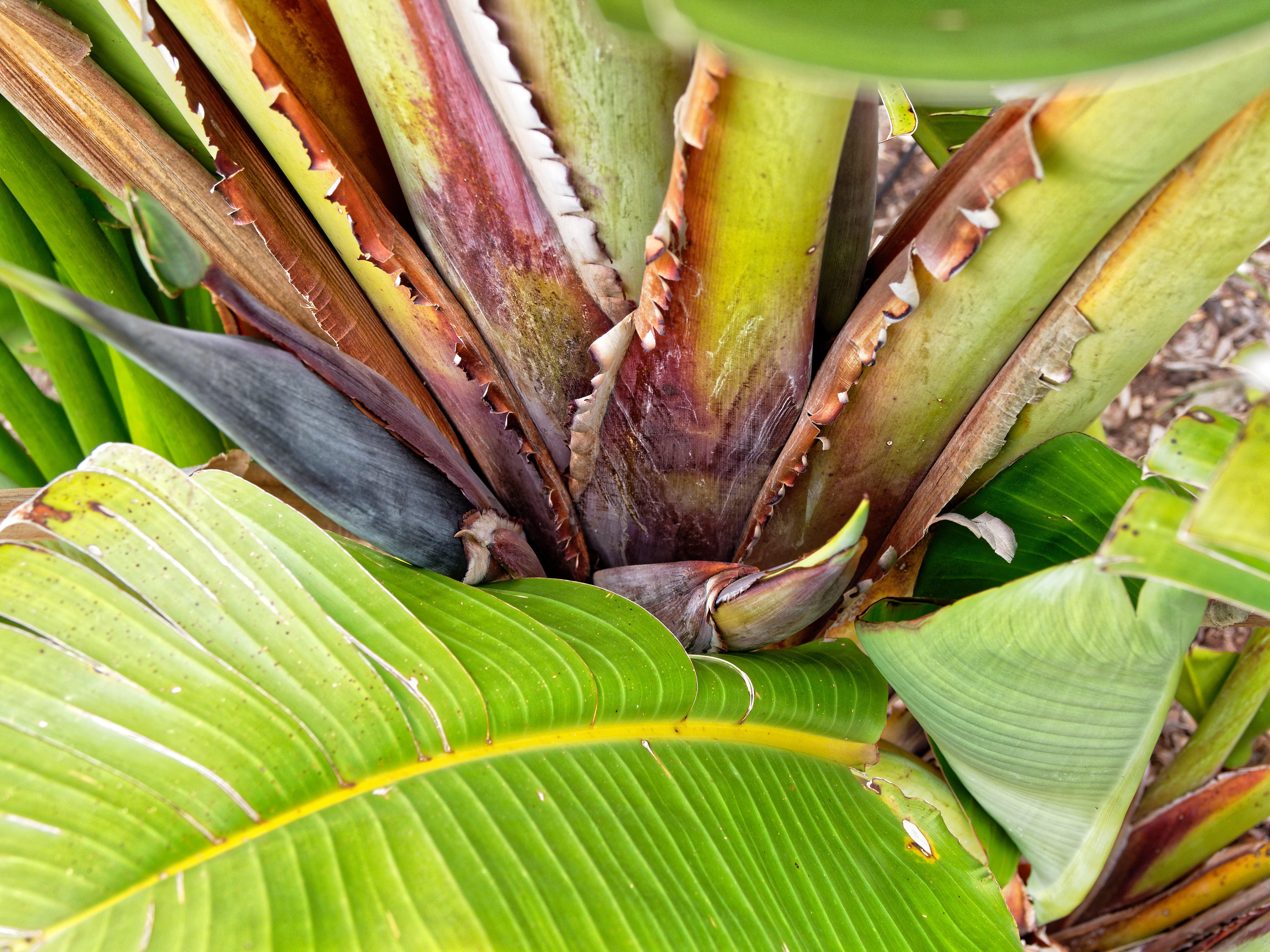 This should be Strelitzia-nicolai-2.jpeg.  Is it missing?
