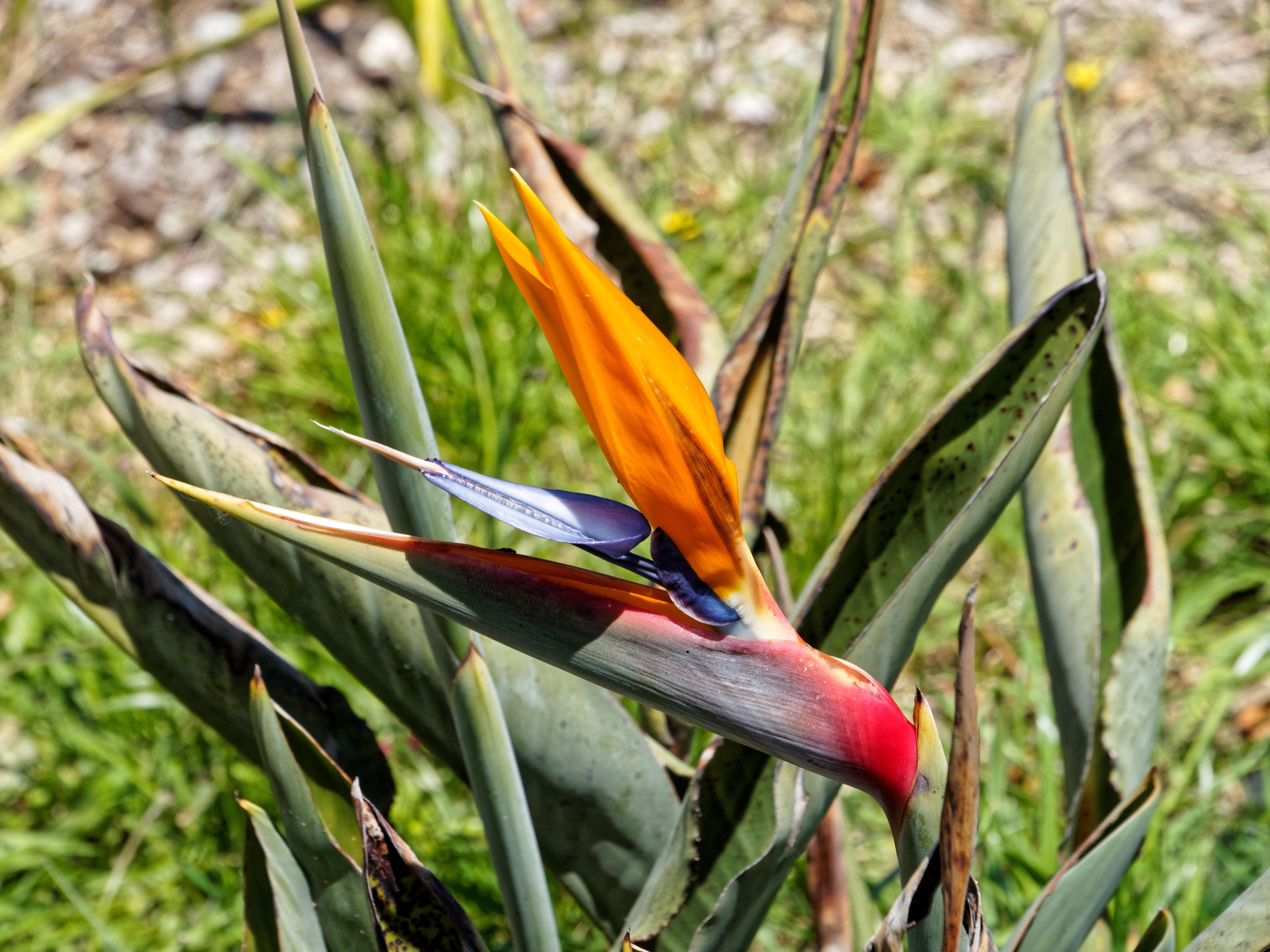 Strelitzia-reginae-2.jpeg