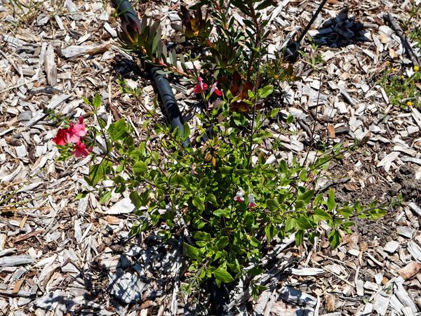 Salvia-3.jpeg