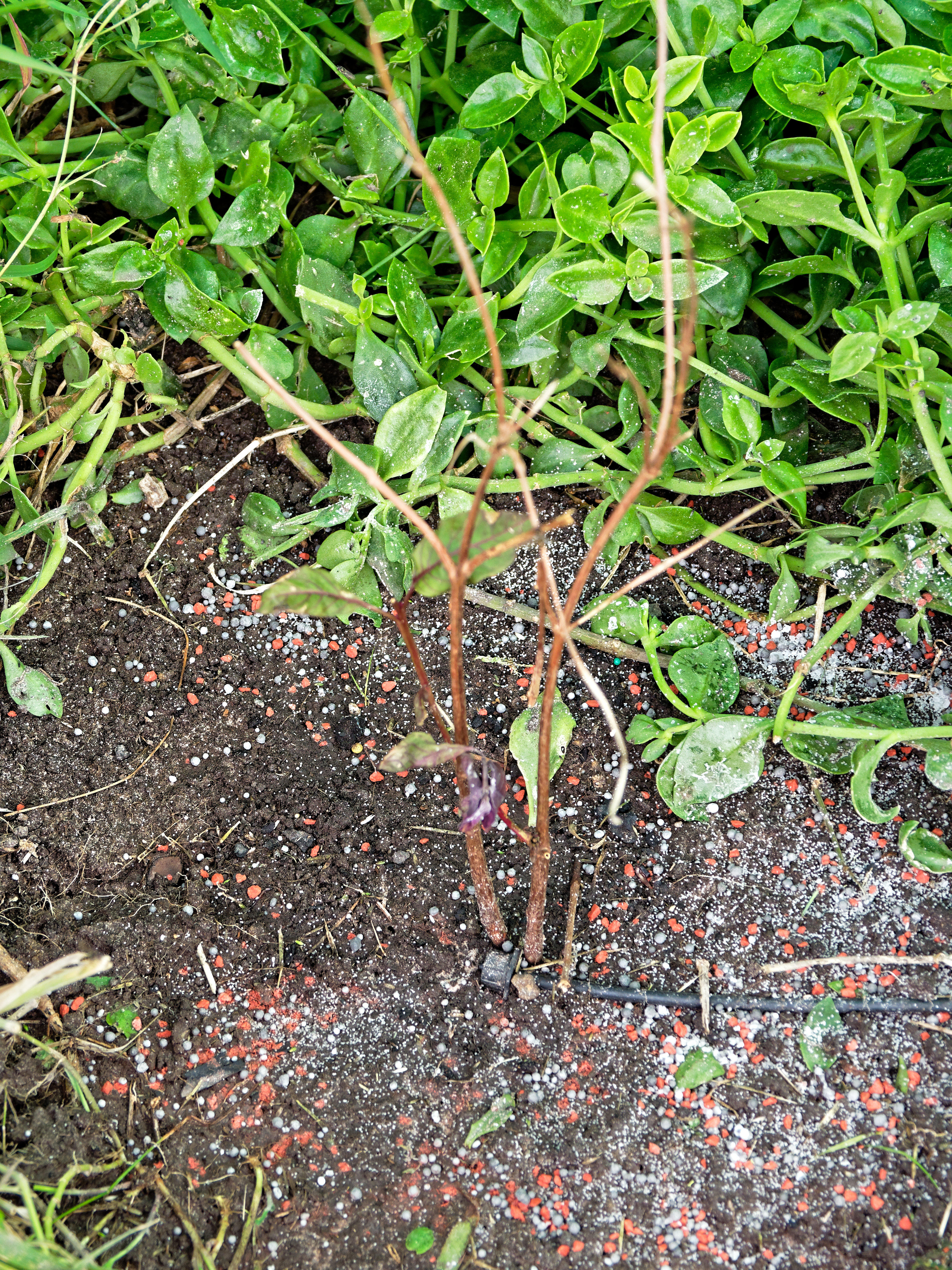 Fuchsia-triphylla-2.jpeg