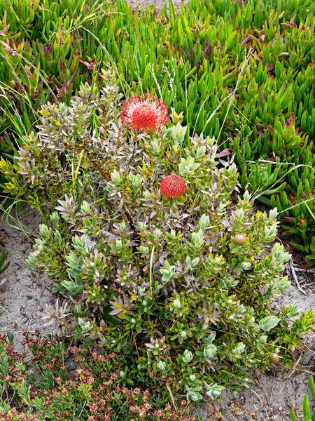 Leucospermum-cordifolium-1.jpeg