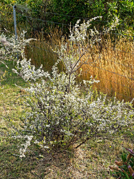 Leptospermum-1.jpeg