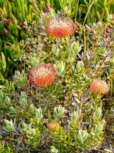 Leucospermum-cordifolium.jpeg