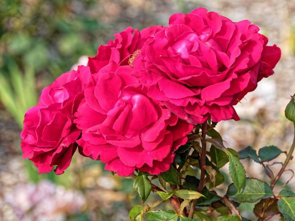 Roses-4.jpeg